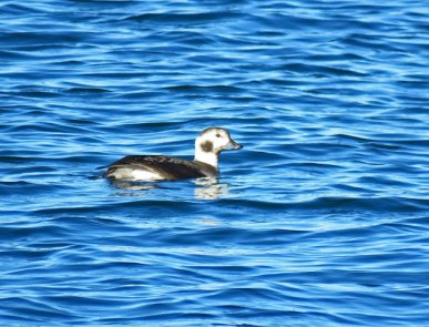 Long-tailed Duck (f) (DH)