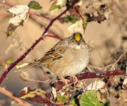 Golden-crowned Sparrow (GB)