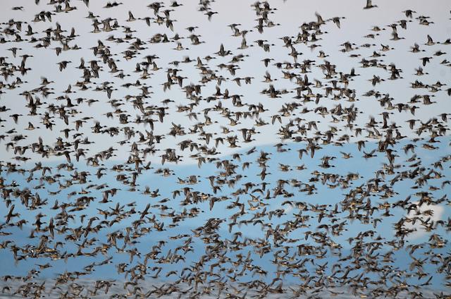Ducks - mixed flock (GB)