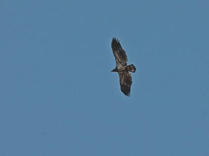 Red-tailed Hawk (JK)