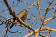 Northern Flicker (JMacD)