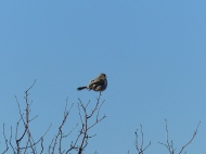 Northern Shrike (LS)