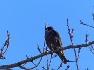 Peregrine Falcon (LS)