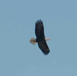 Bald Eagle (PS)