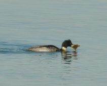 Red-breasted Merganser (PS)