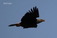 Bald Eagle (TC)