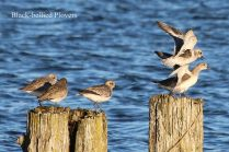 Black-bellied Plover (TC)