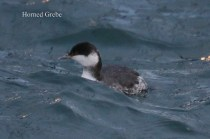 Horned Grebe (TC)