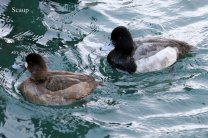 Lesser Scaup pair (TC)