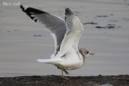 Mew Gull (TC)