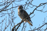 Red-tailed Hawk (TC)
