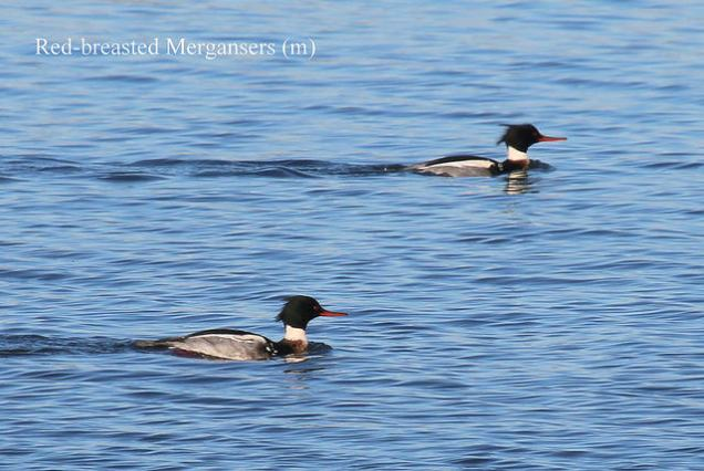 Red-breasted Merganser (TC)