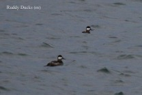 Ruddy Ducks (TC)