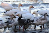 Snow Geese with blue morph (TC)
