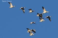 Snow Geese (TC)