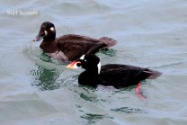 Surf Scoter pair (TC)