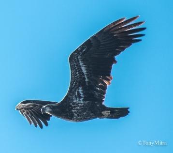 Bald Eagle (TM)