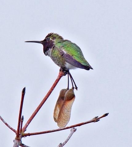 Anna's Hummingbird (BA)