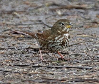 Fox Sparrow (BA)