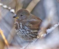 Fox Sparrow (sooty) (BA)