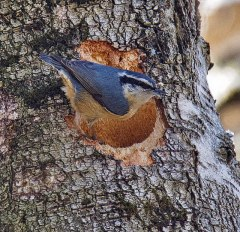 Red-breasted Nuthatch (BA)