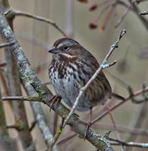 Song Sparrow (BA)