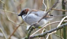 House Sparrow (GB)