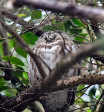 Northern Saw-whet Owl (GB)