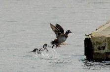 Harlequin Duck (PS)