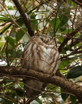 Northern Saw-whet Owl (PS)