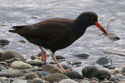 Black Oystercatcher (TC)