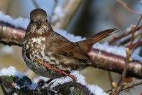 Fox Sparrow (sooty) (TC)
