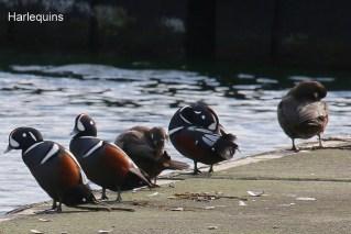 Harlequin Ducks (TC)