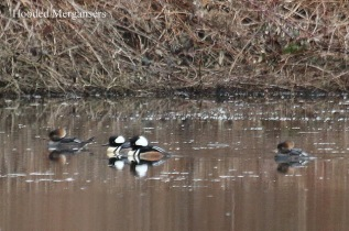 Hooded Mergansers (TC)