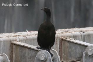 Pelagic Cormorant (TC)
