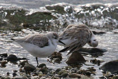 Sanderlings (TC)