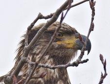 Bald Eagle juv. (BA)