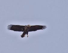 Bald Eagle juv. (GB)