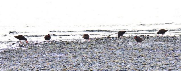 Black Oystercatchers (BA)