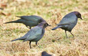 Brewers Blackbirds (BA)