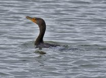Double-crested Cormorant (BA)