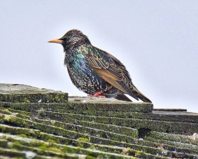 European Starling (BA)