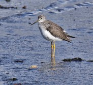 Greater Yellowlegs (BA)