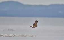 Northern Harrier (BA)