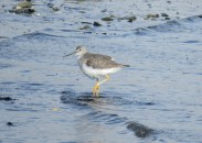Greater Yellowlegs (DH)
