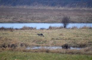 Coyote (GB)