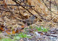 Fox Sparrow (GB)