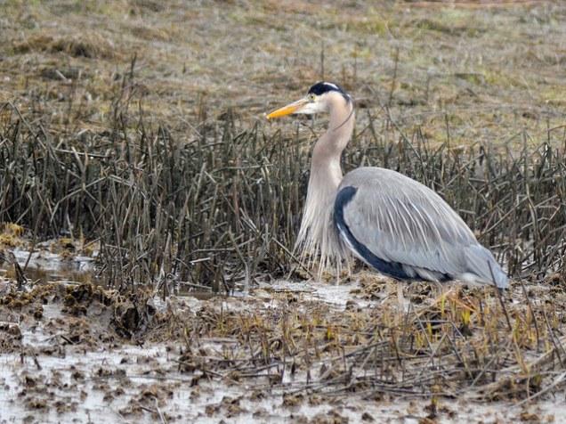 Great Blue Heron (GB)
