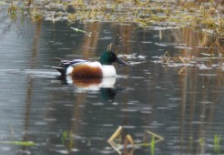Northern Shoveler (GB)