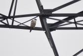Peregrine Falcon (GB)